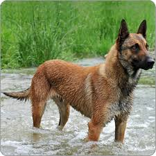 belgian sheepdog vs belgian shepherd belgian shepherds dog malinois dog breeds purina