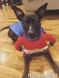 Vizsla Halloween Costume Dog Halloween Costumes Ideas Spider Bee Superhero