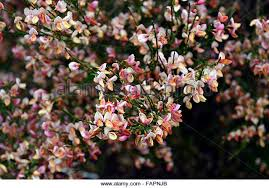 Pink Spring Flowering Shrubs - broom shrub stock photos u0026 broom shrub stock images alamy