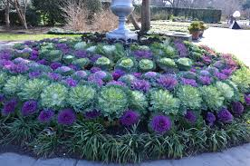 flowering cabbage and kale for autumn gardens what grows there