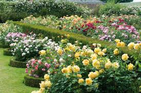 everything you need to know about roses hgtv