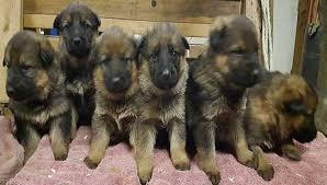 puppies indiana gsd puppy adoption indiana michigan ohio