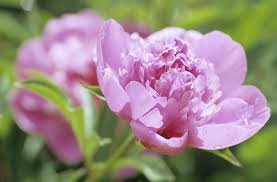 Beauty Garden by Flower Nature Purity Peonies Love Beauty Garden Flowers Pink