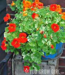 nasturtium flowers you grow girl for the of nasturtiums