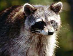 How To Get Rid Of Raccoons In Backyard How To Dispose Of A Dead Raccoon Hunker