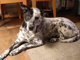 boxer x red cattle dog my blue heeler dalmatian cross for kirby pinterest