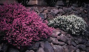 Shrub With Fragrant Purple Flowers - shrubs