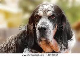 bluetick coonhound puppies for sale coonhound stock images royalty free images u0026 vectors shutterstock