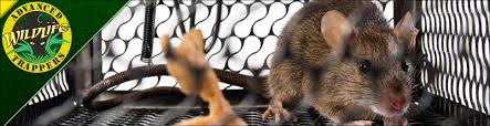 rat pest control trapping and removal in central florida