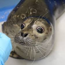 Gaaay Seal Meme - create meme the surprised seal the surprised seal seal navy