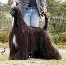 afghan hound breeders victoria taejon afghans
