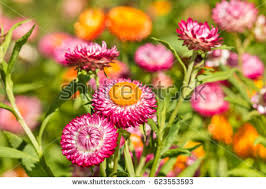 straw flowers strawflowers stock images royalty free images vectors