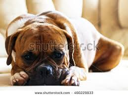 boxer dog feet black and white boxer dog stock images royalty free images