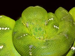 emerald tree boa wikipedia