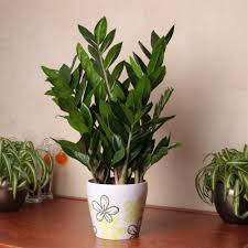 Best Plant For Bathroom by Zamioculcas Zamiifolia 1 Plant Amazon Co Uk Garden U0026 Outdoors