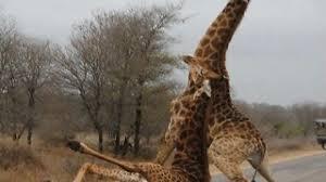 Drunk Giraffe Meme - dammit frank imgur
