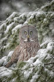 Barn Owls Habitat 541 Best Great Grey Owl Images On Pinterest Great Grey Owl