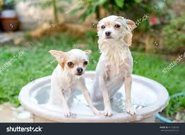 Dog In Shower by Focus On Chihuahua Face Longhair Chihuahua Stock Photo 411935533