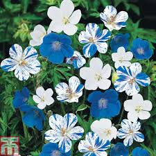 blue seed blue bedding plants at thompson morgan