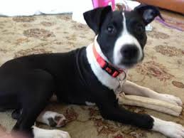colby american pitbull terrier rescued a american bully need help on bloodline they say it u0027s