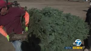 holiday spirit high despite major tree loss at santa paula