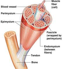 Human Body Muscles Images Muscles Of The Body Diagrams How Muscles Work In Women