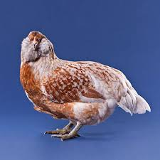 buy easter egger chickens day easter egger from my pet chicken
