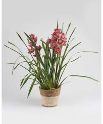 cymbidium orchid cymbidium orchid plants shop