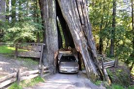 tunnels carved into 2 000 year trees wide
