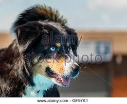 australian shepherd blue eyes blue eyed australian shepherd dog stock photos u0026 blue eyed