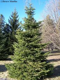 european silver fir abies alba