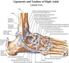 Anatomy Of The Calcaneus Best 25 Ankle Anatomy Ideas On Pinterest Foot Anatomy Ankle