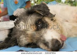 australian shepherd and cats picture australian shepherd puppy drinking mothers stock photo