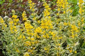 lysimachia punctata u0027alexander u0027 yellow loosestrife