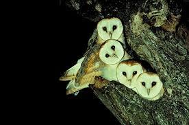 North American Barn Owl The Owl U0027s Perch The Un Common Barn Owl