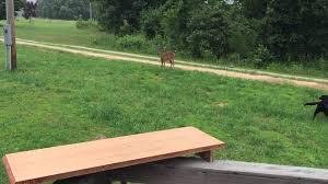 deer chase youtube