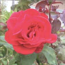 Fragrant Rose Plants - rose bushes rose shrub climbing rose patio rose plants for sale