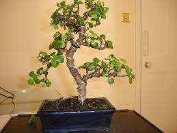 Bonsai Jade wiring & Pruning