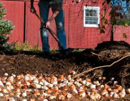 grand rapids mi bulb planting tulip bulbs daffodil bulbs tulips