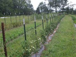 tomato height florida weave 7 u0027 t post fence stakes oh to have