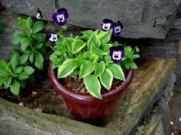 miniature u0026 small hostas carolyn u0027s shade gardens