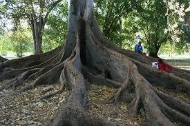 gorgeous trees that picture of adelaide botanic garden