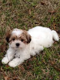 how to cut a shichon s hair my sweet puppy she s a shichon zuchon dogs pinterest she