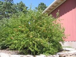 native plants of kansas sand hill plum