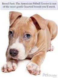 american pit bull terrier website american pitbull terrier