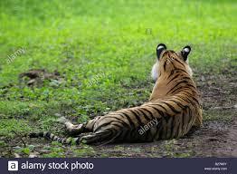 bengal tiger machali back view ranthambore panthera tigris