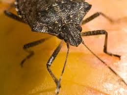 Indiana travel bug images Stink bugs are creeping and crawling across indiana jpg