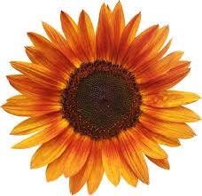 Yellow Orange Flowers - free photo flower summer orange sunflower flowers isolated max pixel