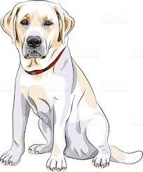 vector sketch yellow dog breed labrador retriever sitting stock