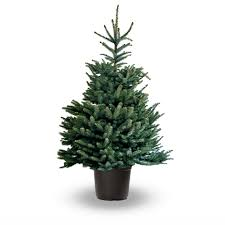 is a living christmas tree right for your family u2014 every bloomin